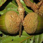 Lithocarpus in Cambodia, Laos and Vietnam
