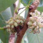 Quercus in Cambodia, Laos and Vietnam